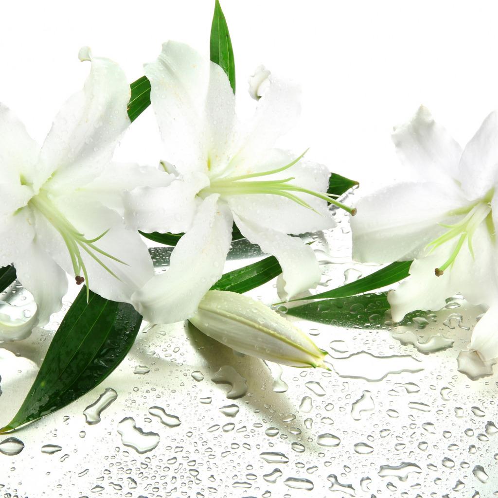 Картинки цветы белые лилии