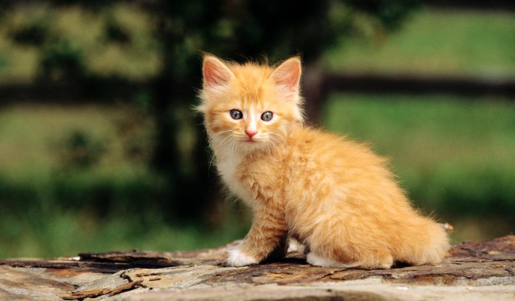 Рыжий котенок  № 1144331 бесплатно
