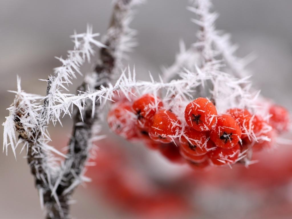 природа мороз рябина зима ветки еда ягоды  № 457128 без смс