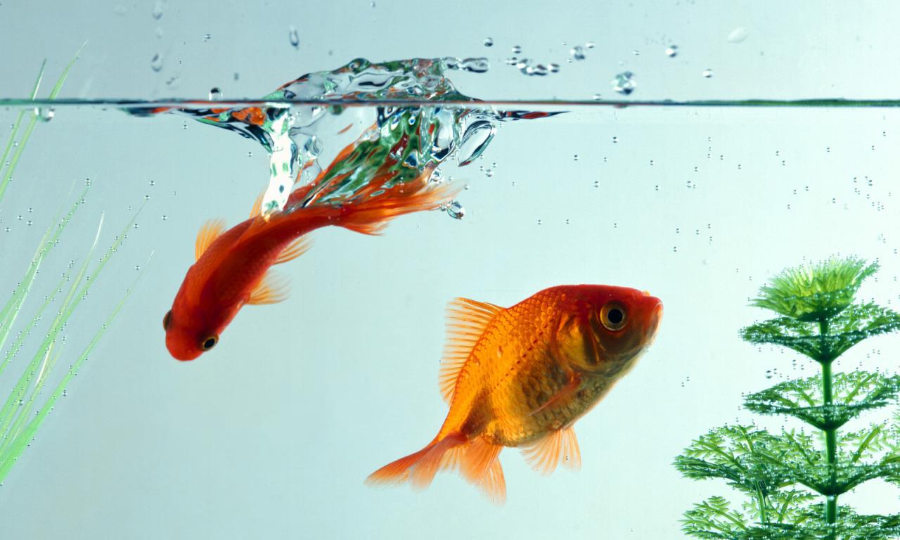 Золотые рыбки на поверхности  № 2075942 бесплатно