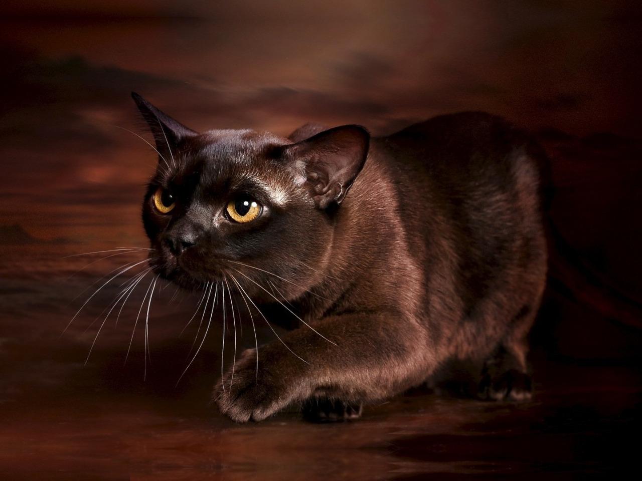 картинки шоколадные кошки долей содержания