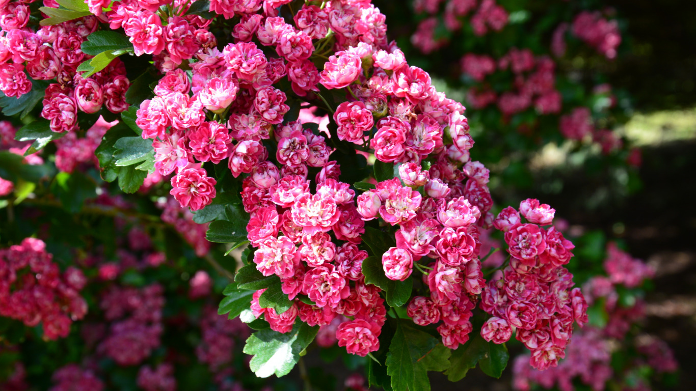 Секс цветы вишни 11 фотография