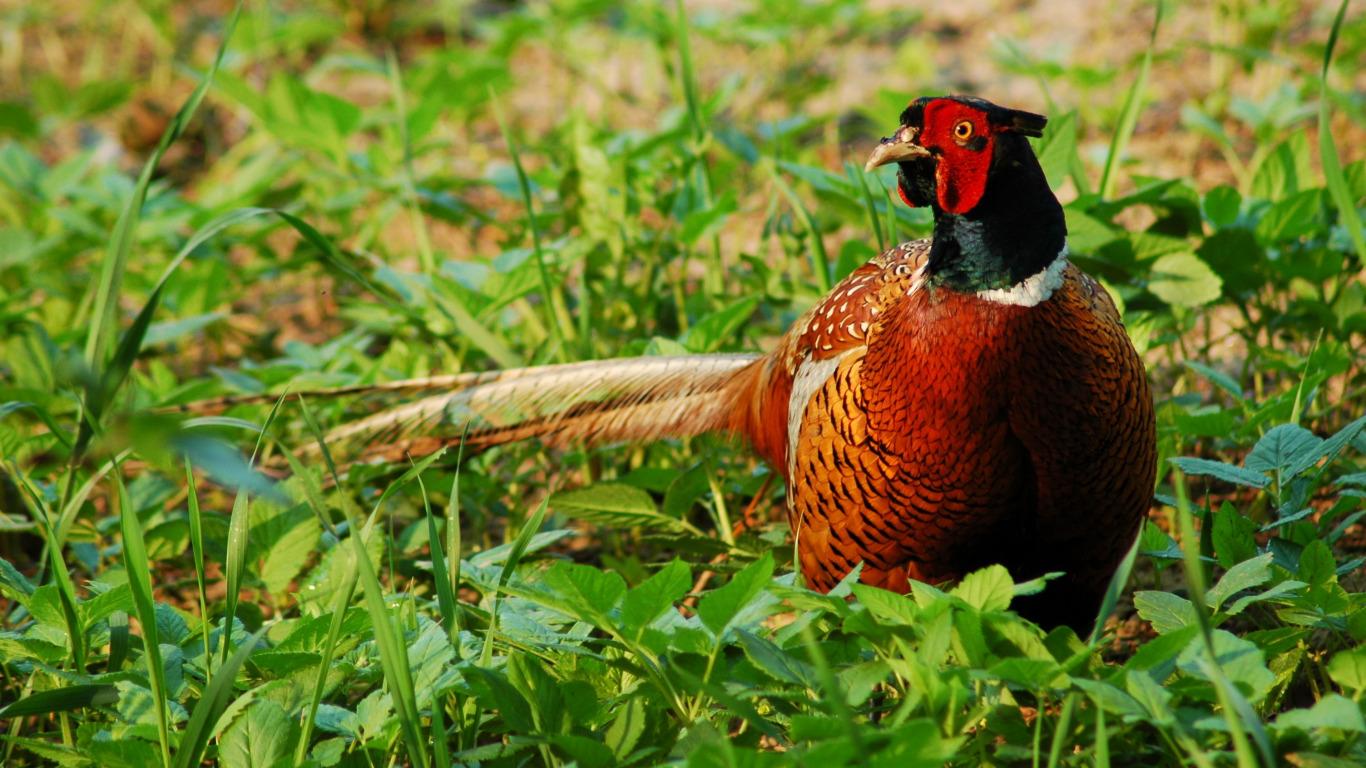 Green pheasant