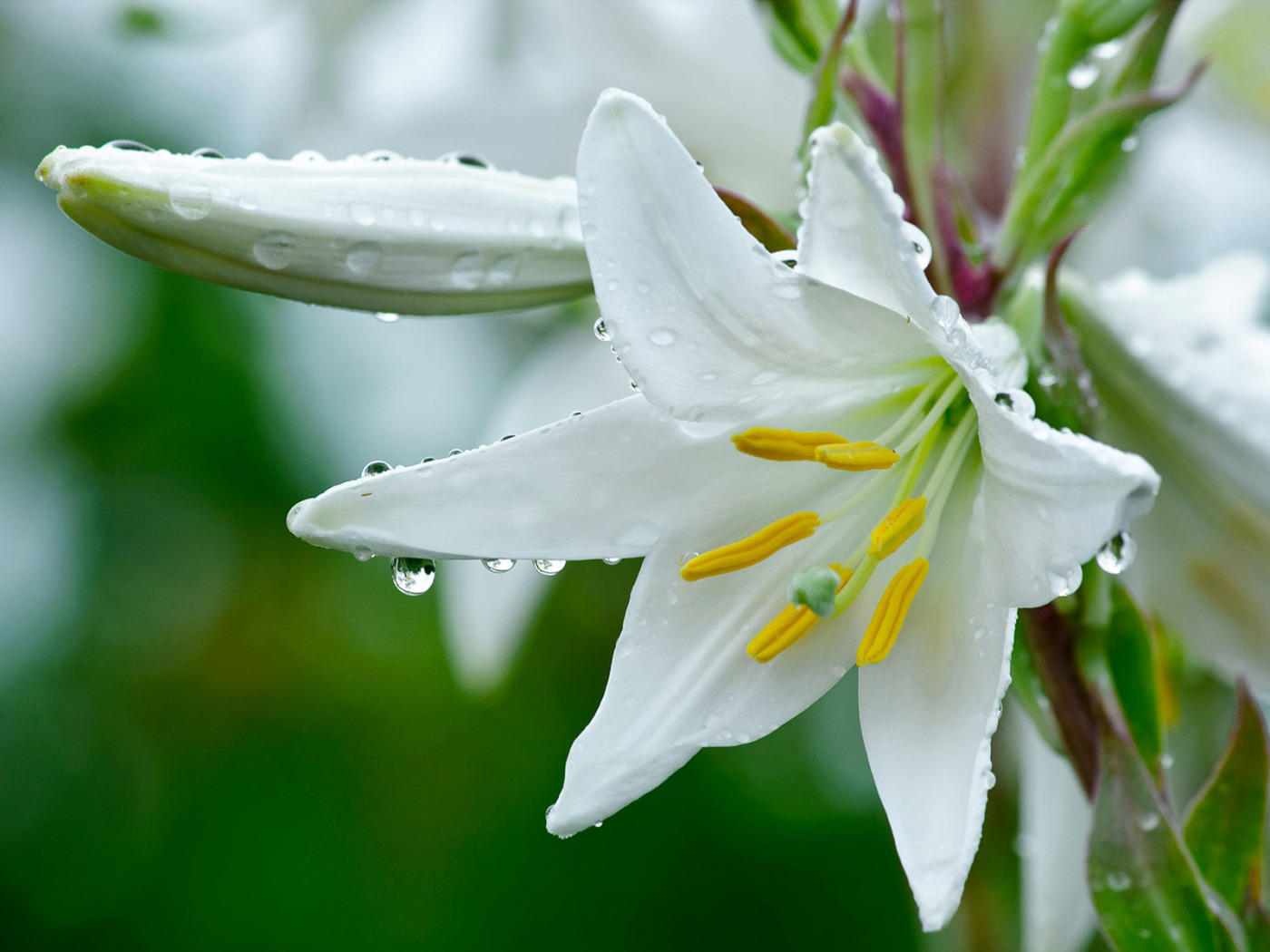 Мая, белые лилии картинки красивые