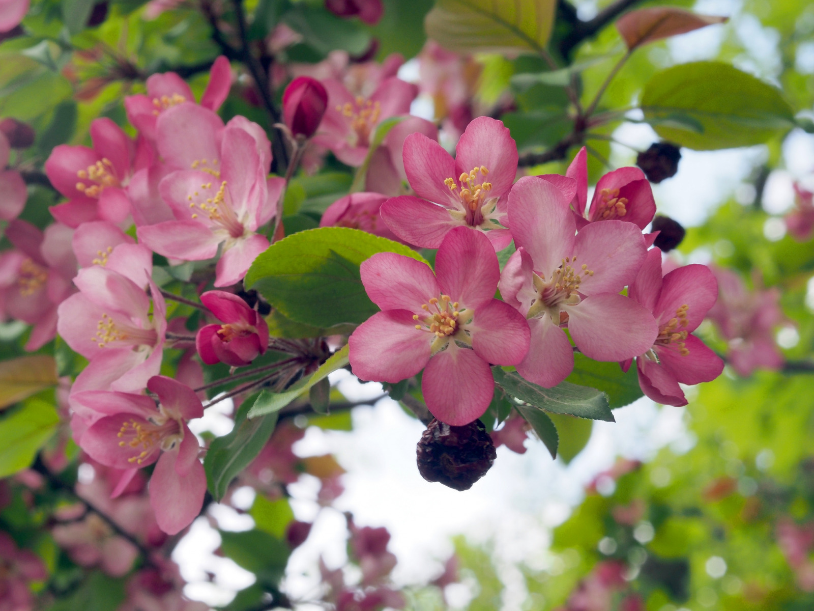 обои для рабочего стола цветущие яблони № 239658 без смс