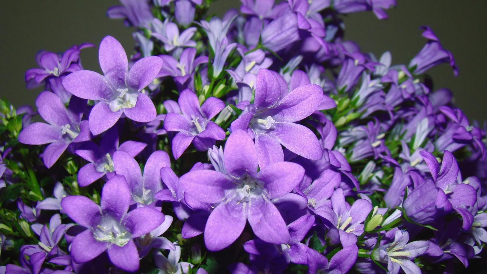 Фото цветов кампанеллы
