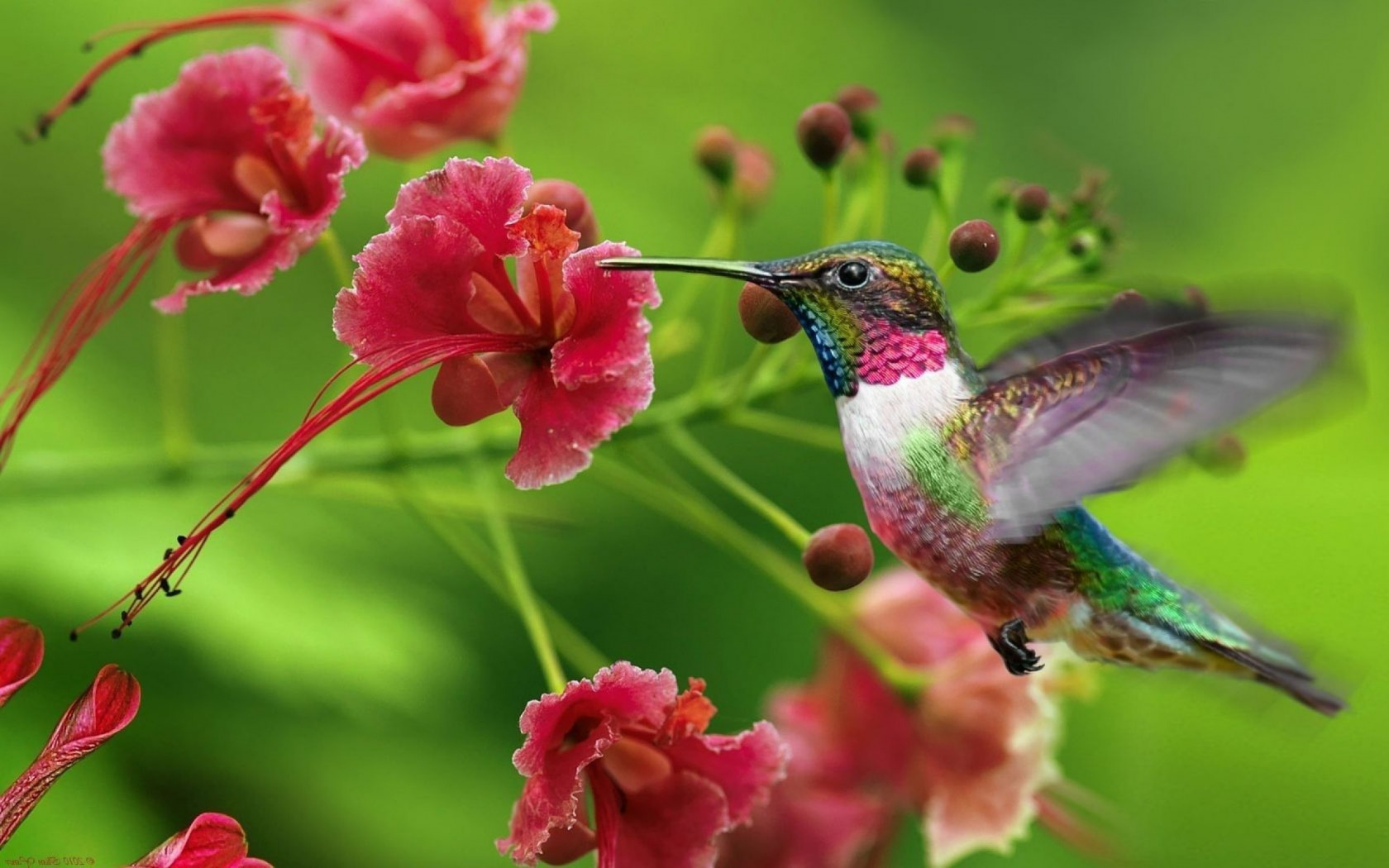 Красивые обои на рабочий стол колибри