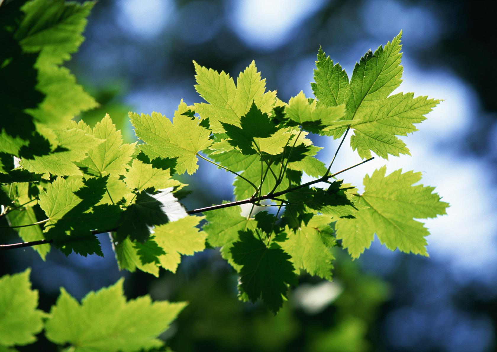 ветка с листьями  № 3792460 без смс