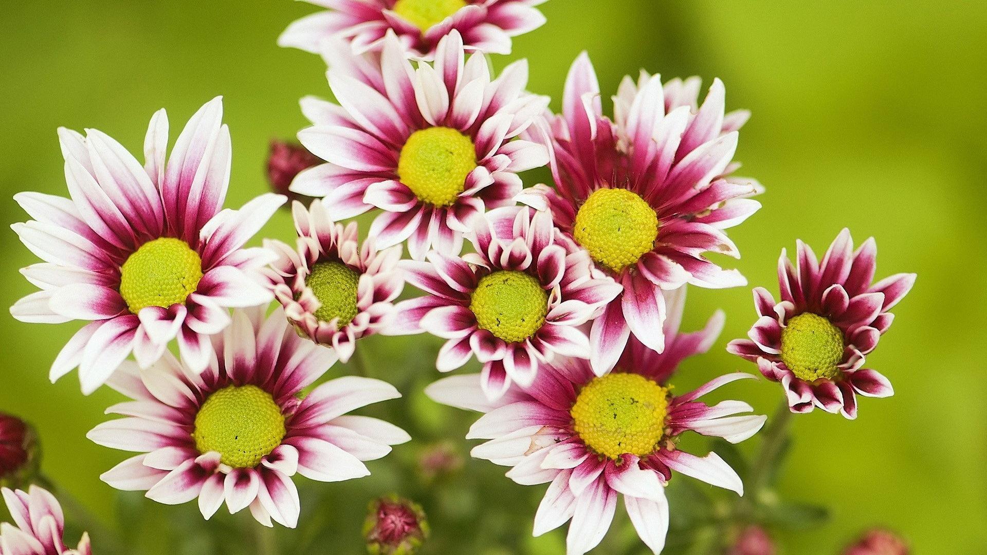 хризантема цветы  № 1353141 бесплатно