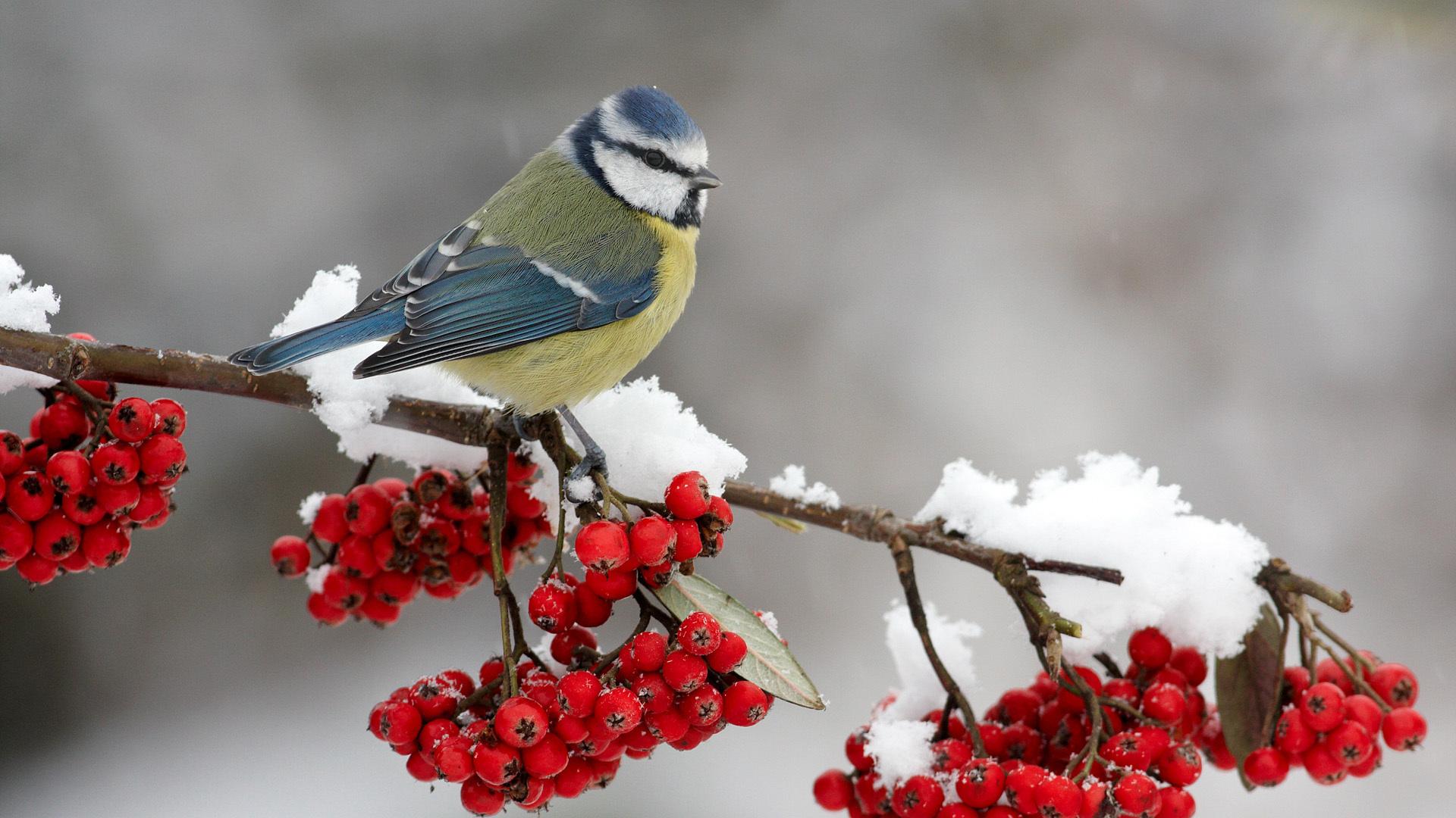 птички на снегу  № 101446 бесплатно