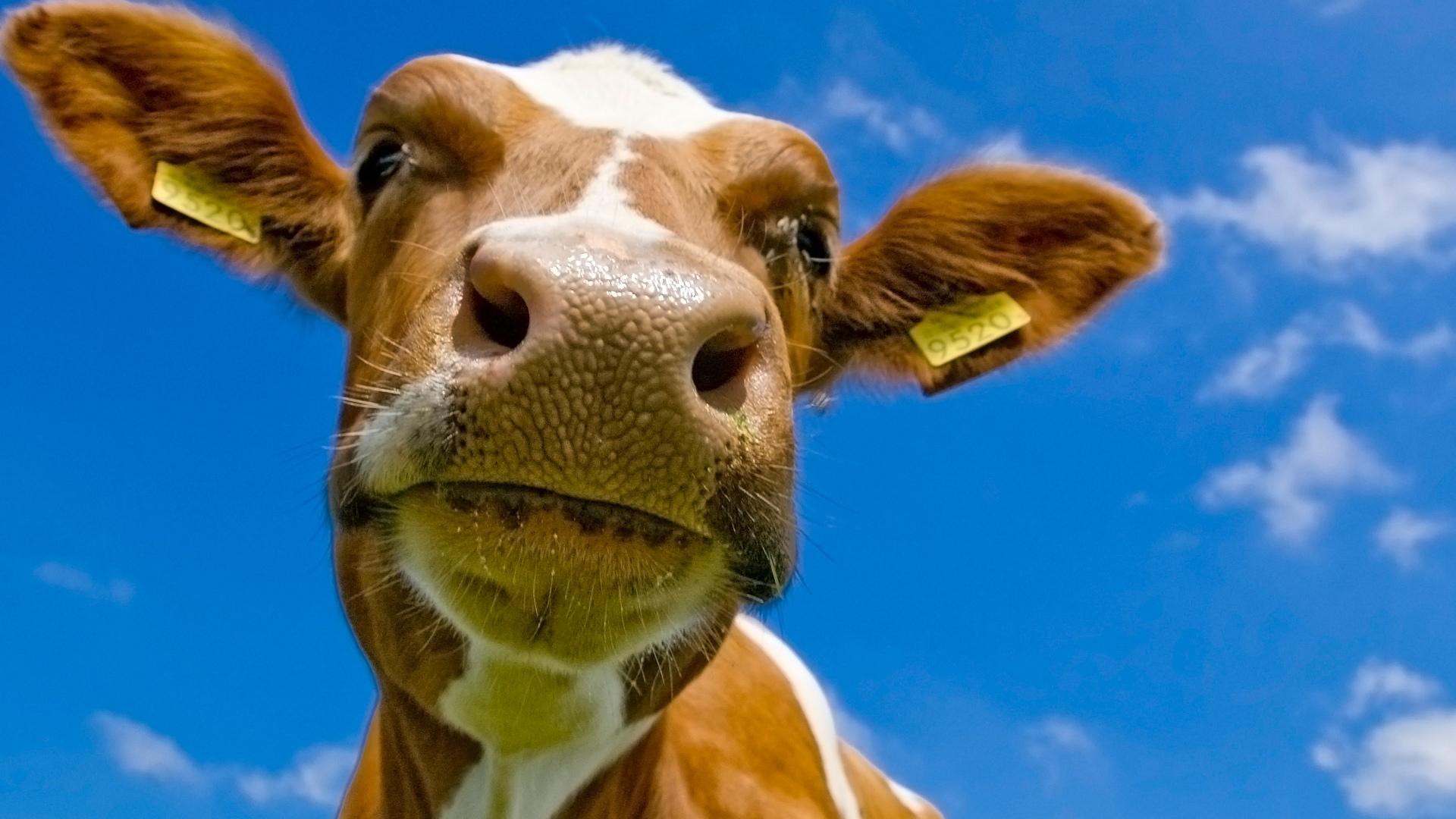Картинки смешные коров