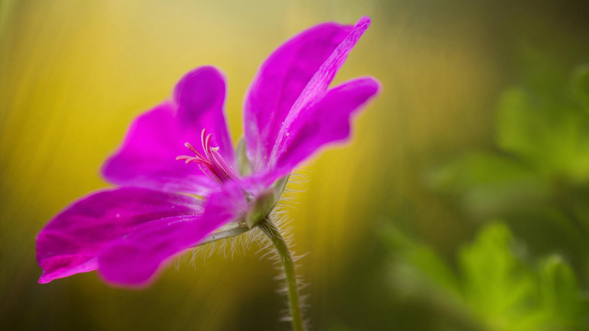 цветы макро розовые  № 1347201 загрузить