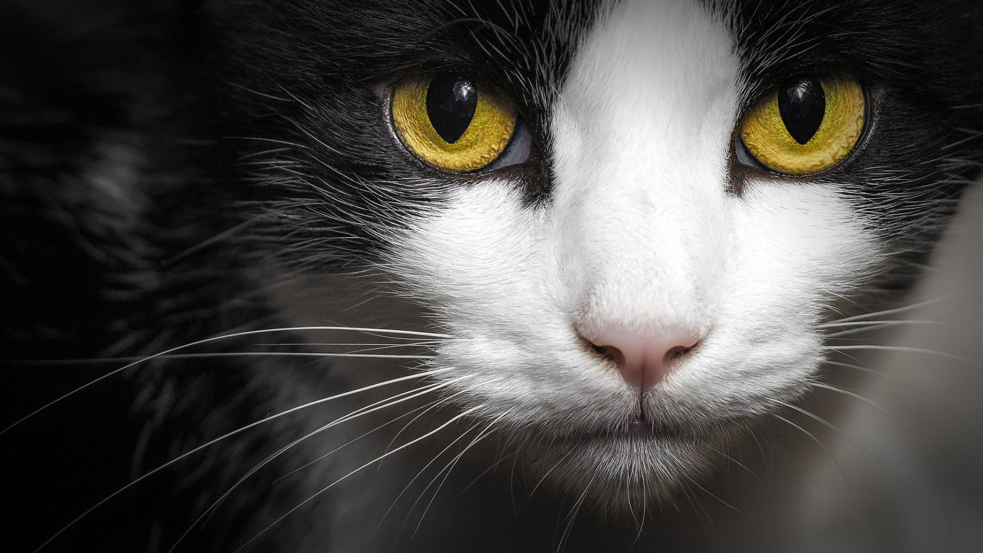 любимая тётушка, картинки белых котов с желтыми глазами готов свои средства