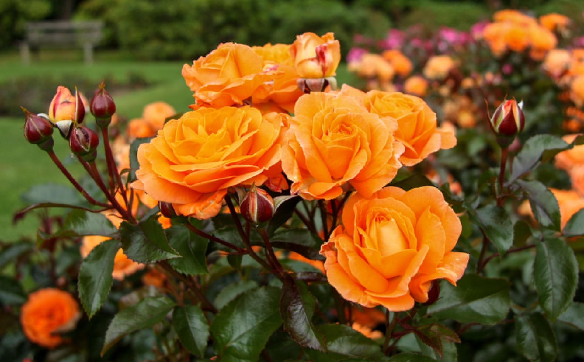 Фото цветы на кусте роза