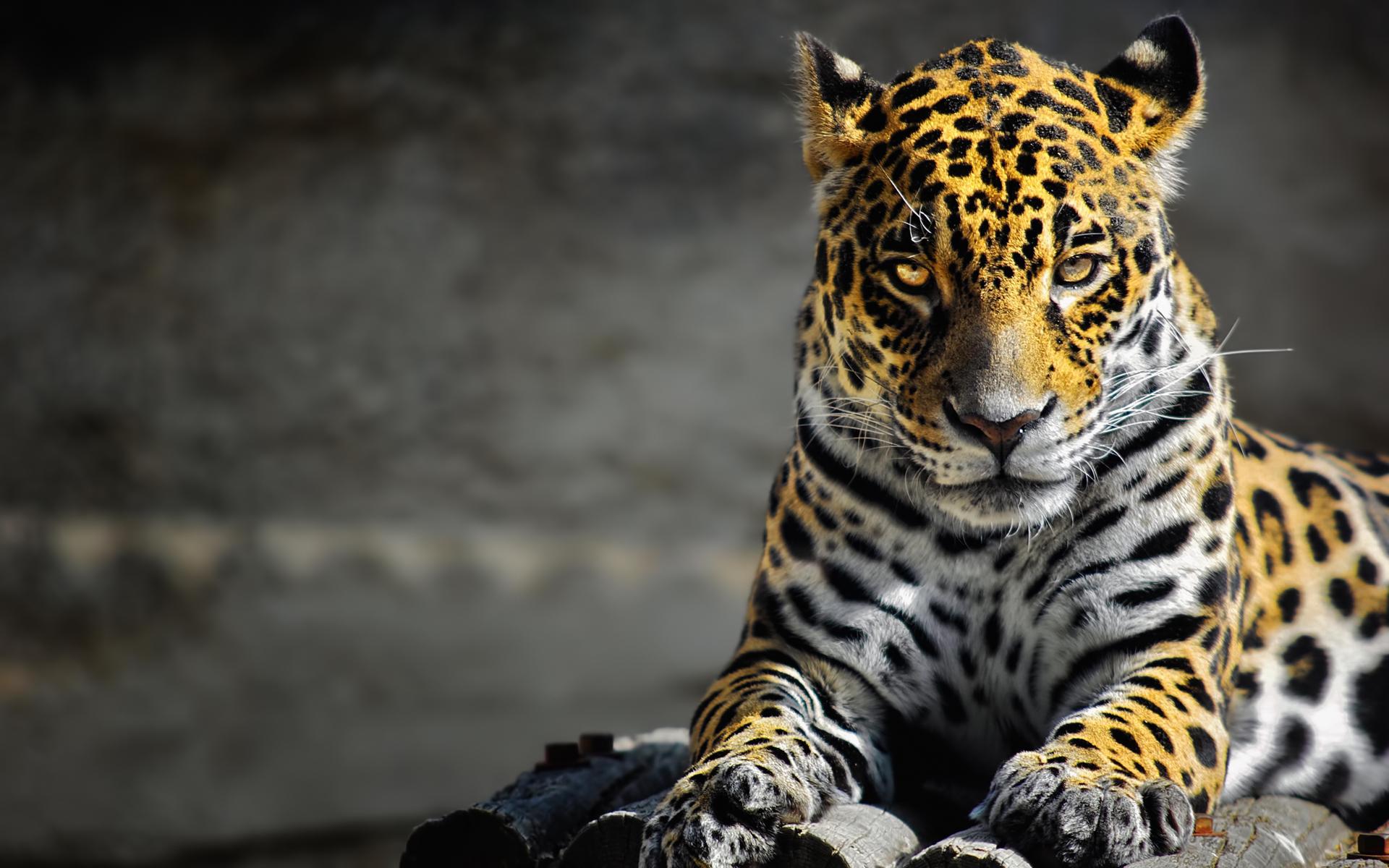Ягуар хищник взгляд камни  № 3657966 загрузить