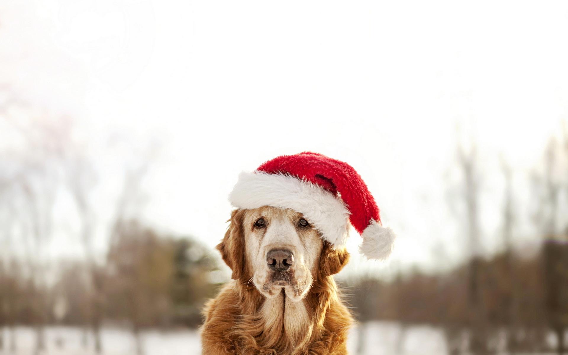 собачка в новогодней шапочке  № 1301926 бесплатно