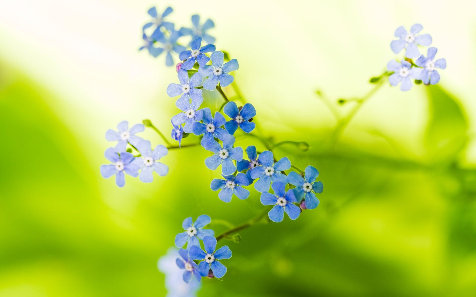 природа цветы голубые  № 1334466 без смс
