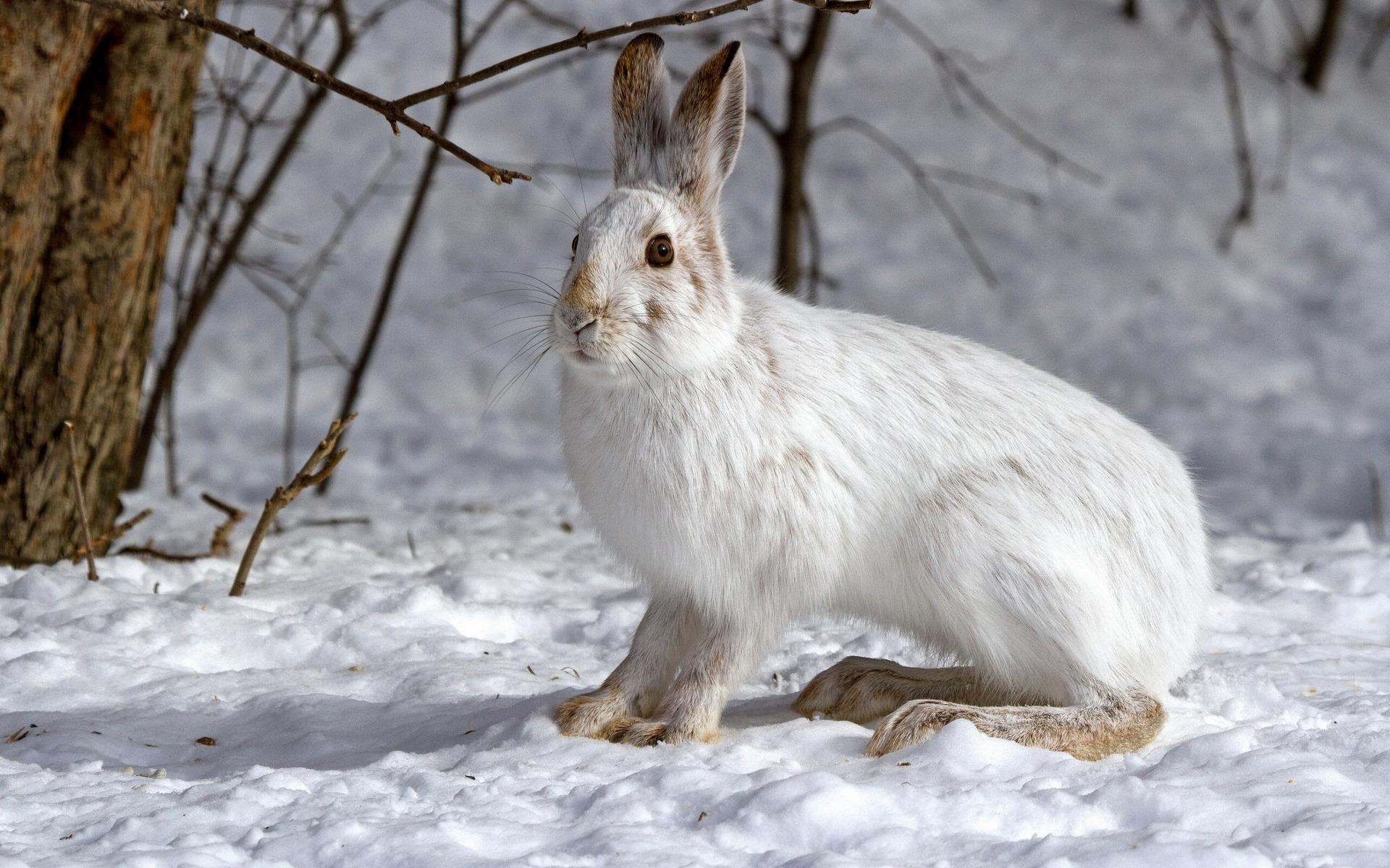 Фото зайчика зимой