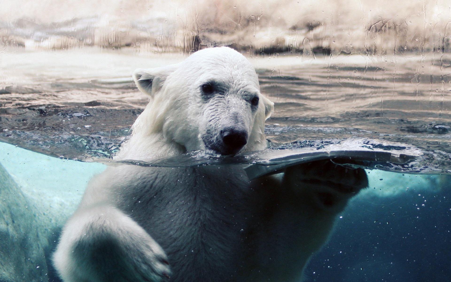 медведь отражающийся на льду фото автор этого берут большую