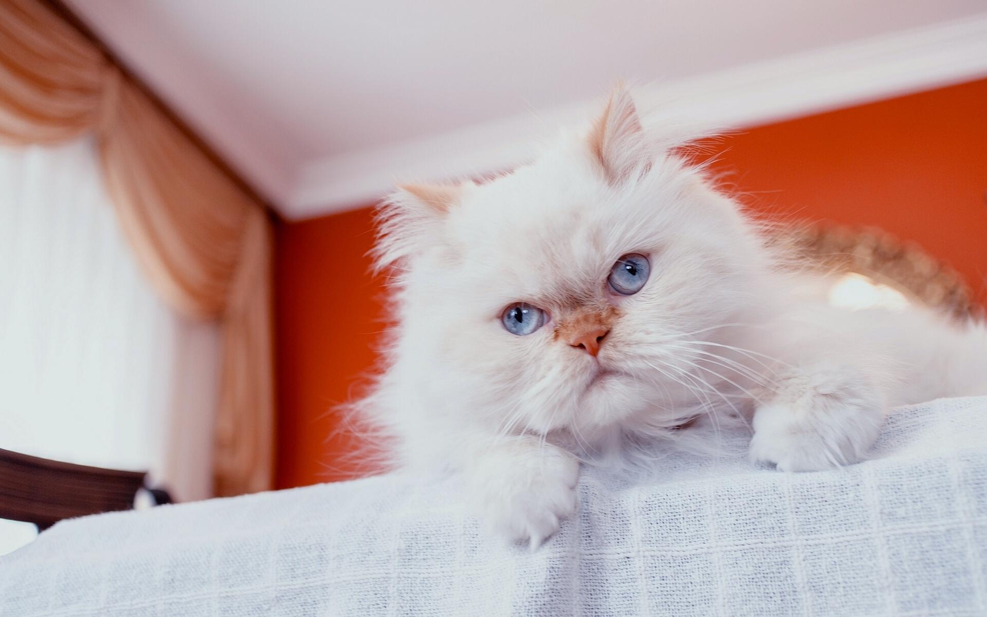 обои кошки для рабочего стола персы № 623732  скачать