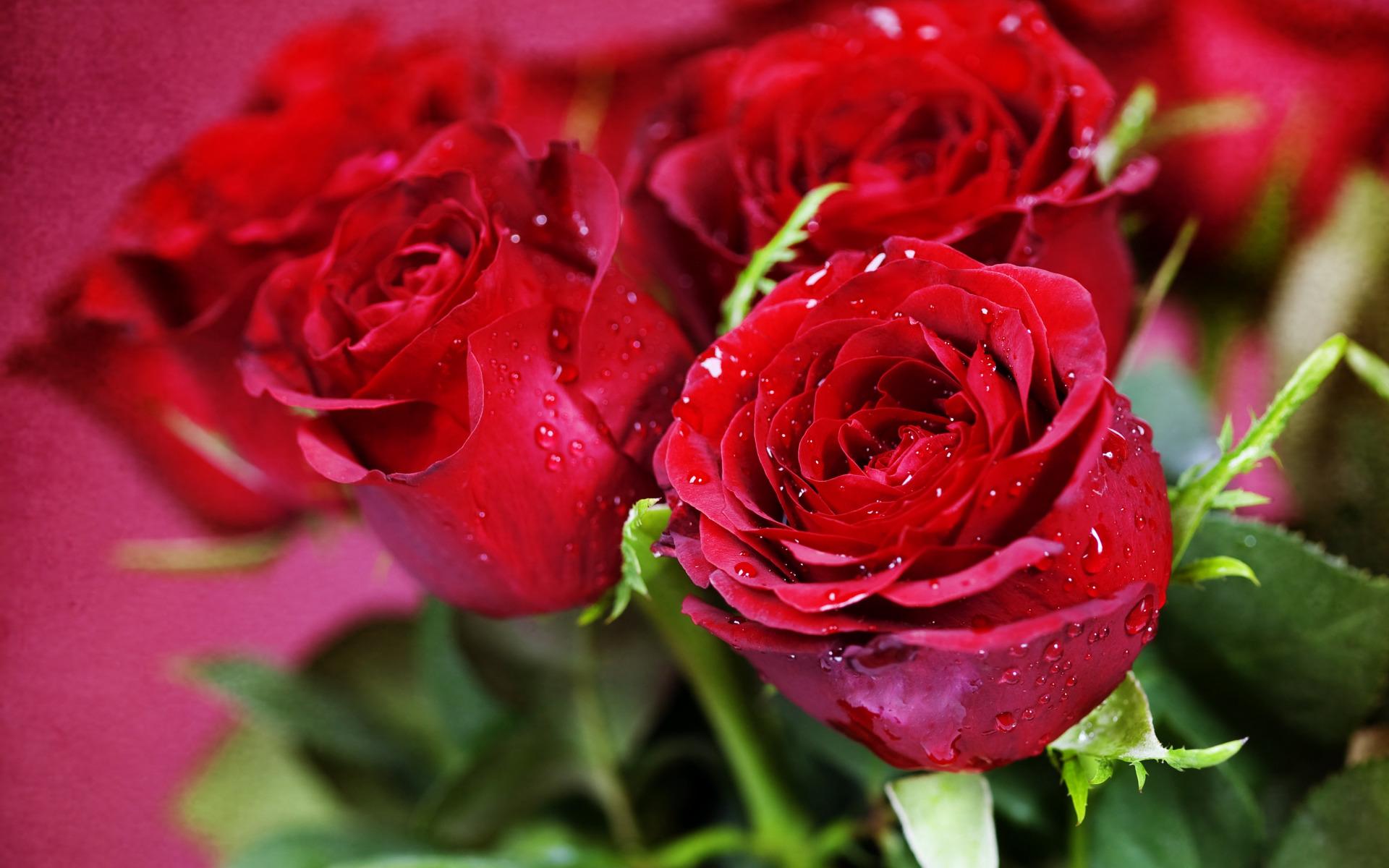 Цветок розы фото