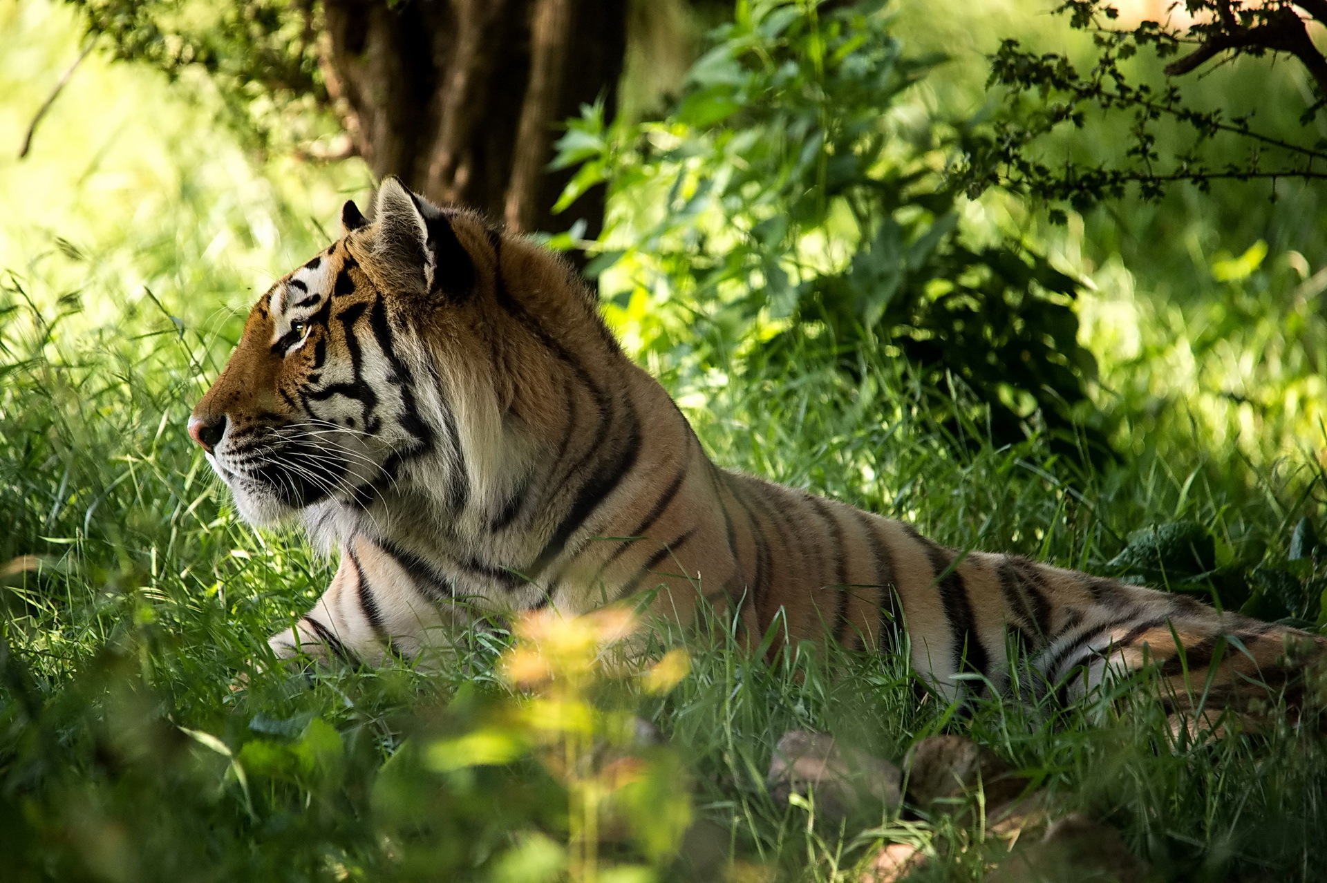 тигры трава природа  № 2011152 без смс