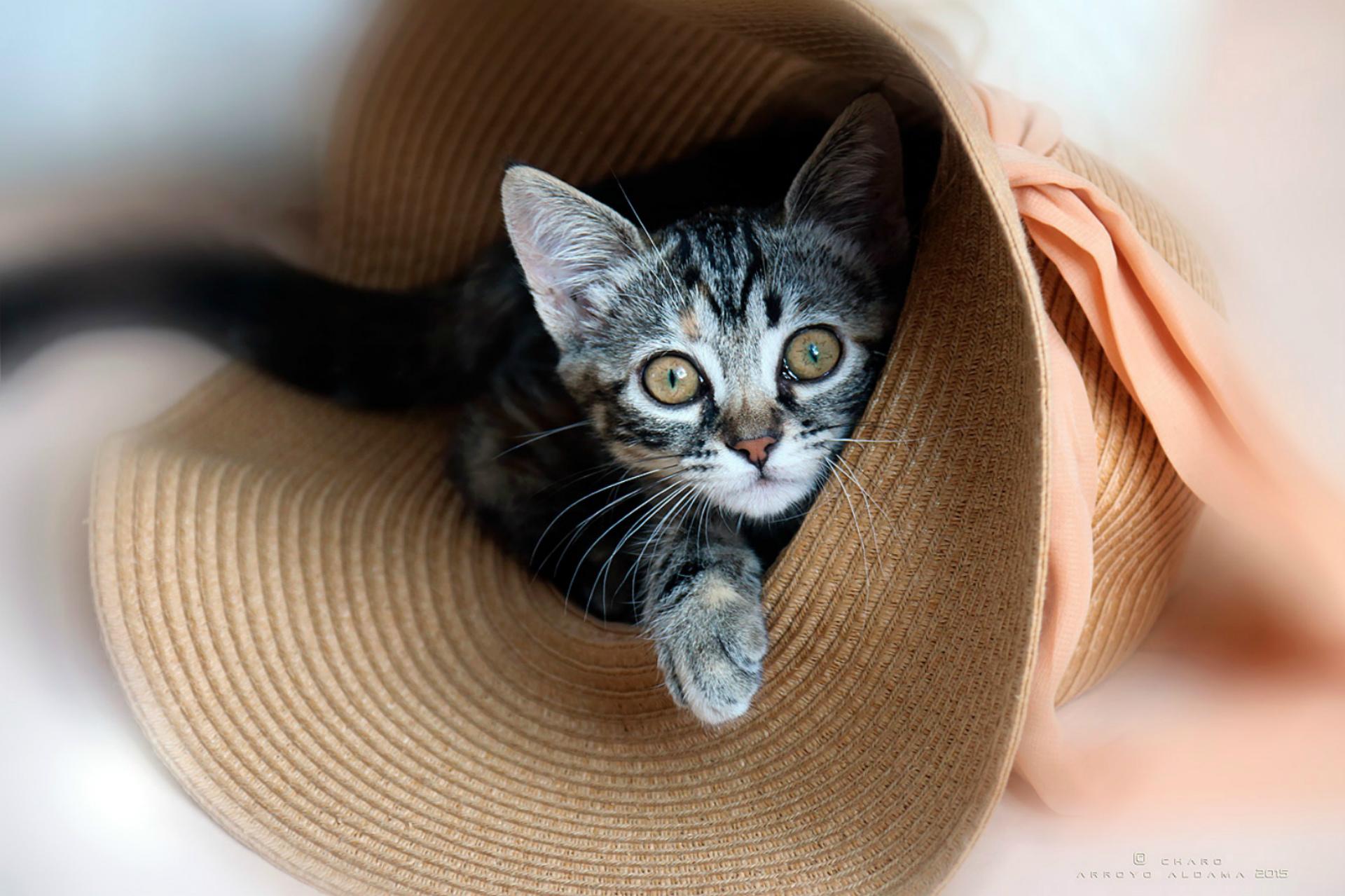 спорту красивые фото кошек в шляпе говоря