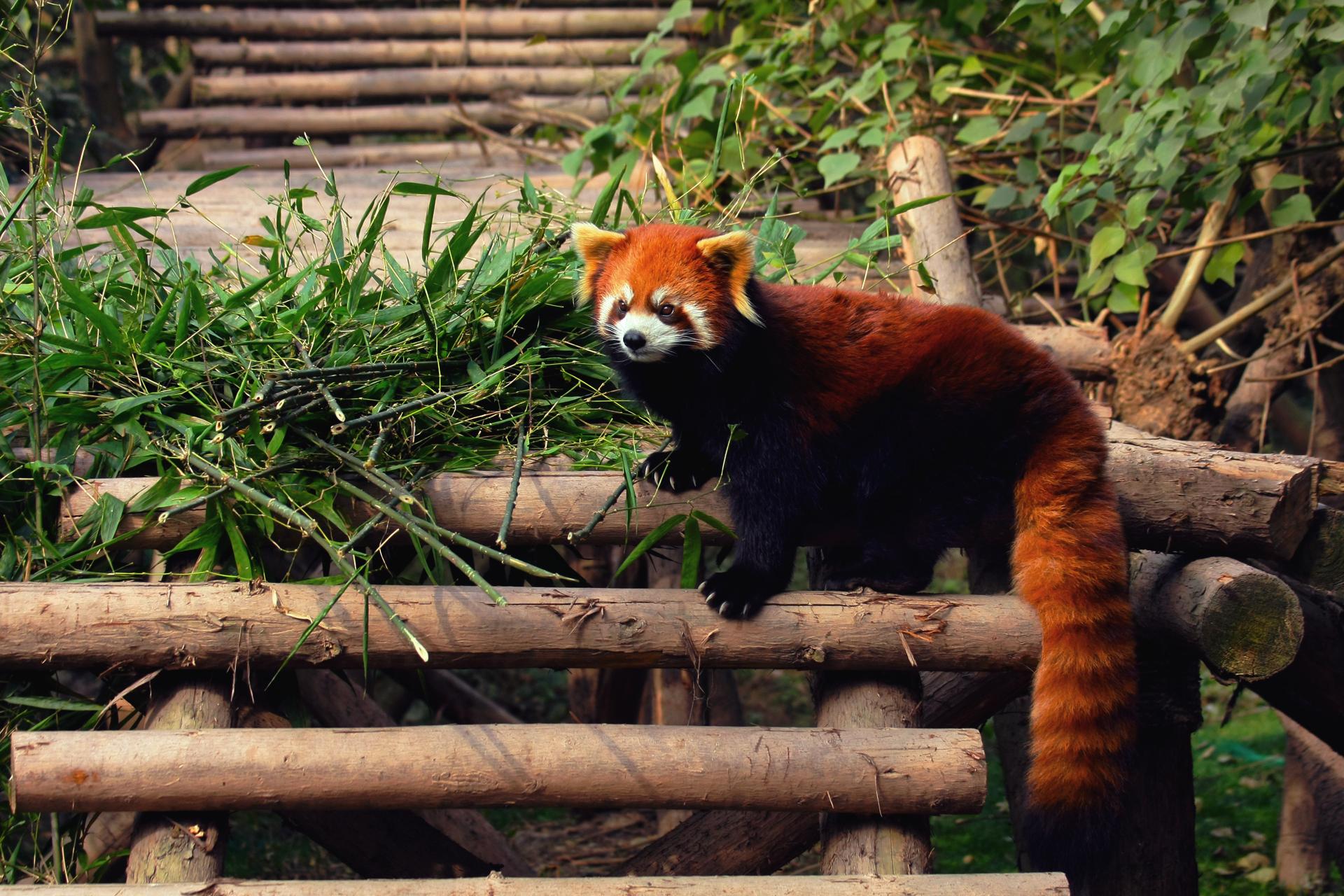 Red Panda  № 1564044 без смс