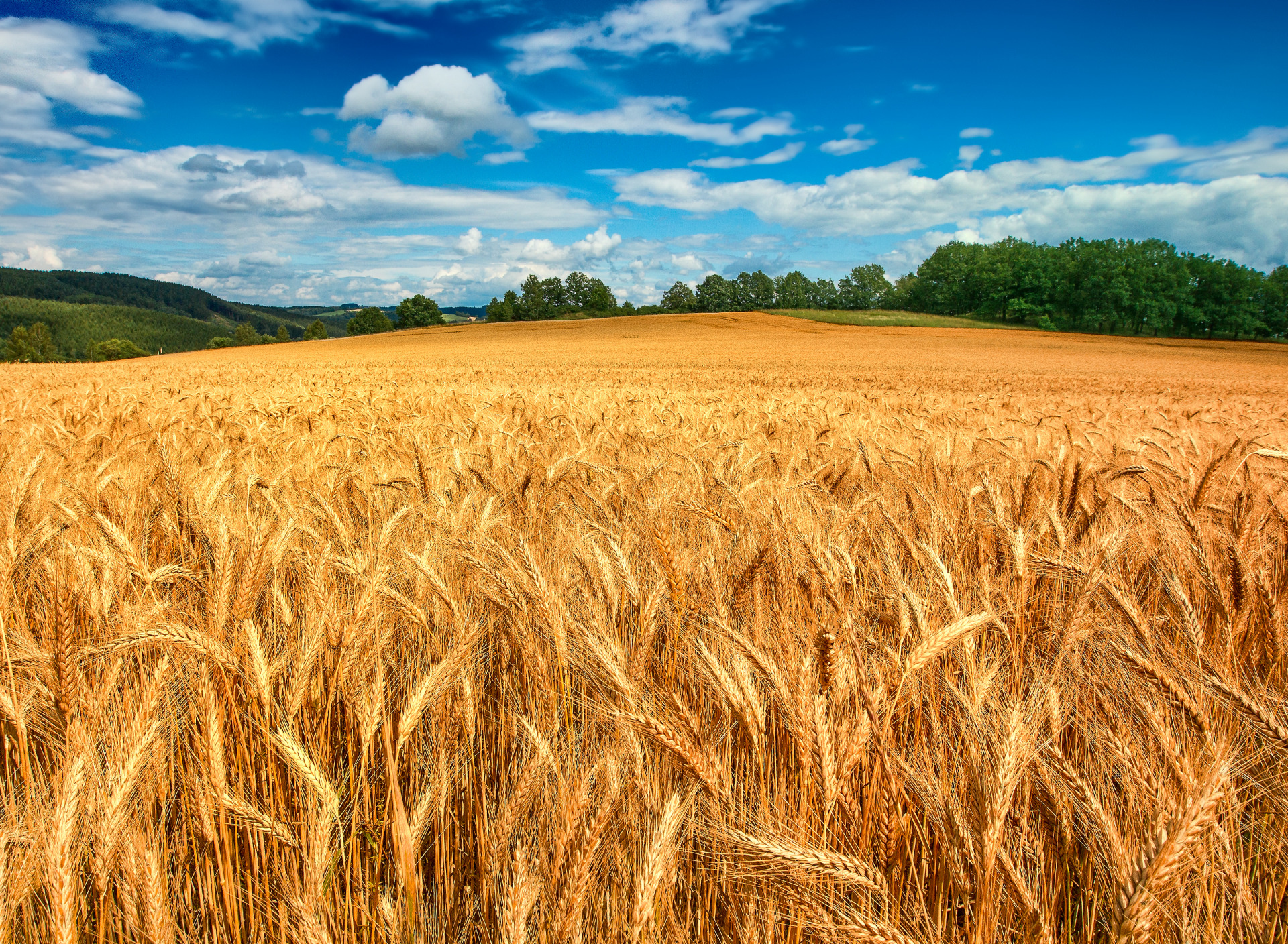 Карандашом открытку, картинки с пшеницей и рожью