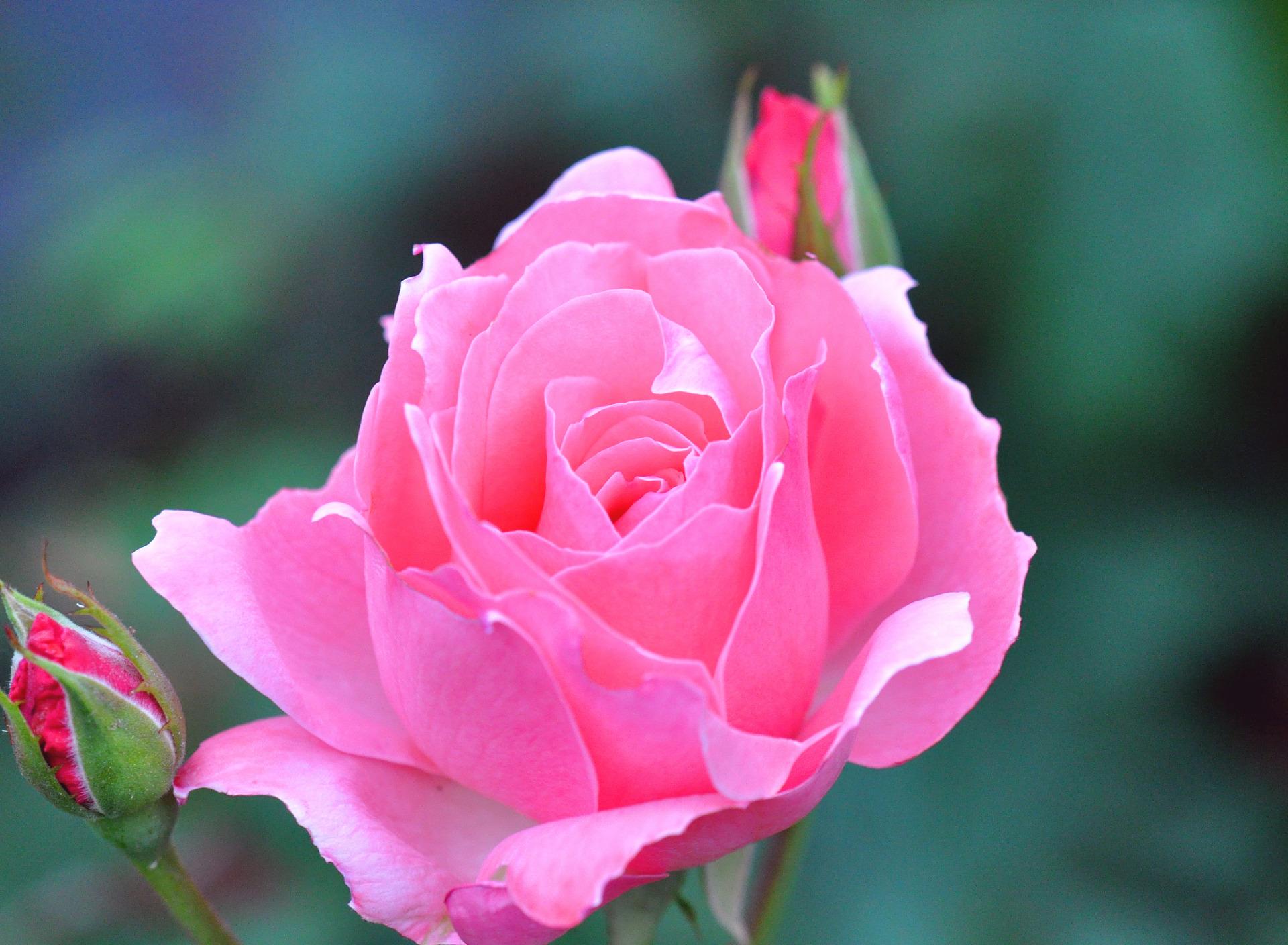 алюминия картинки роз в высоком разрешении покрашенные потолки выглядят