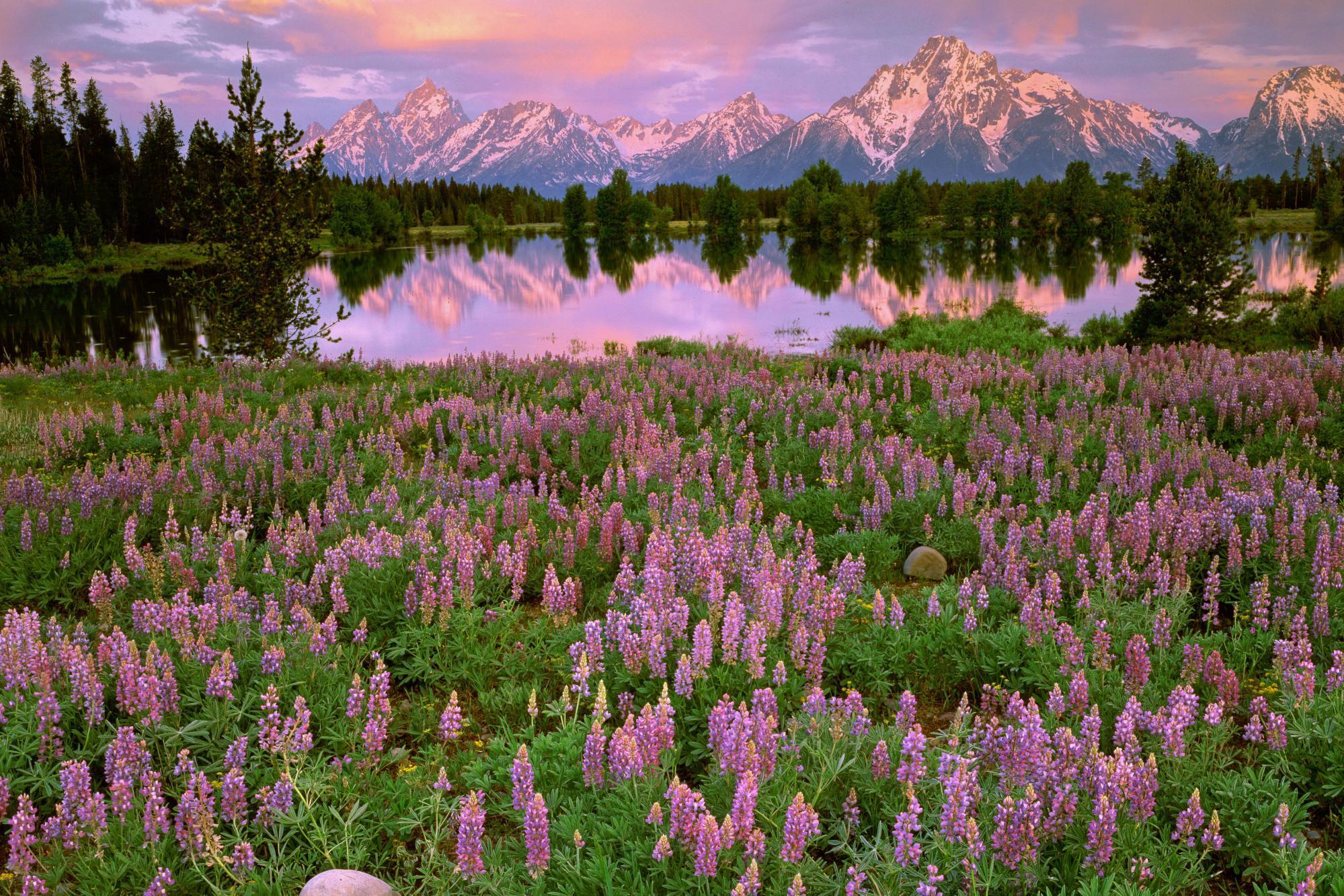 горы, ели, цветочная поляна  № 3586996  скачать