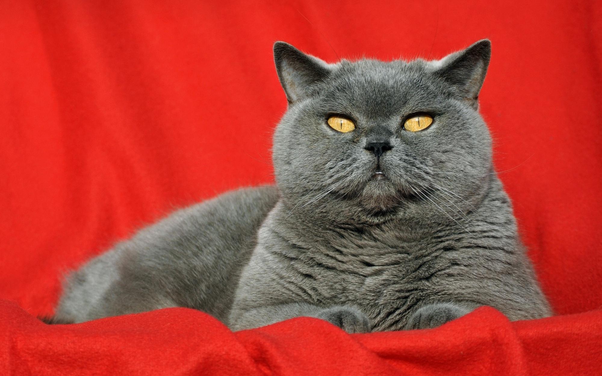 часы-скелетоны часы фото красивых британских кошек на рабочий стол полностьюзефир фотостудия интерьерная