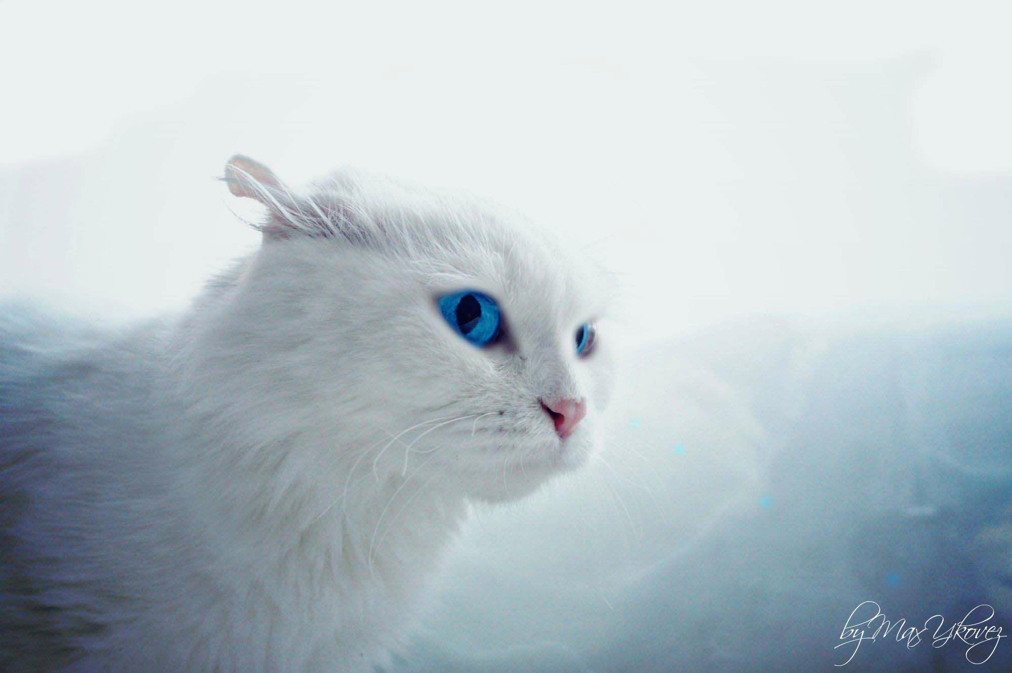 Белый кот разные глаза  № 2956543  скачать