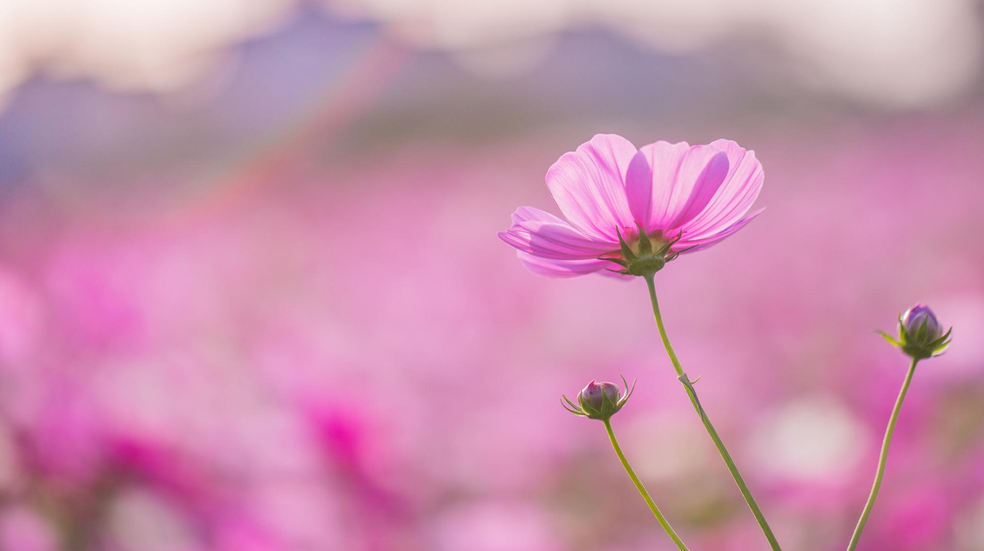 цветы макро розовые  № 1347081 бесплатно