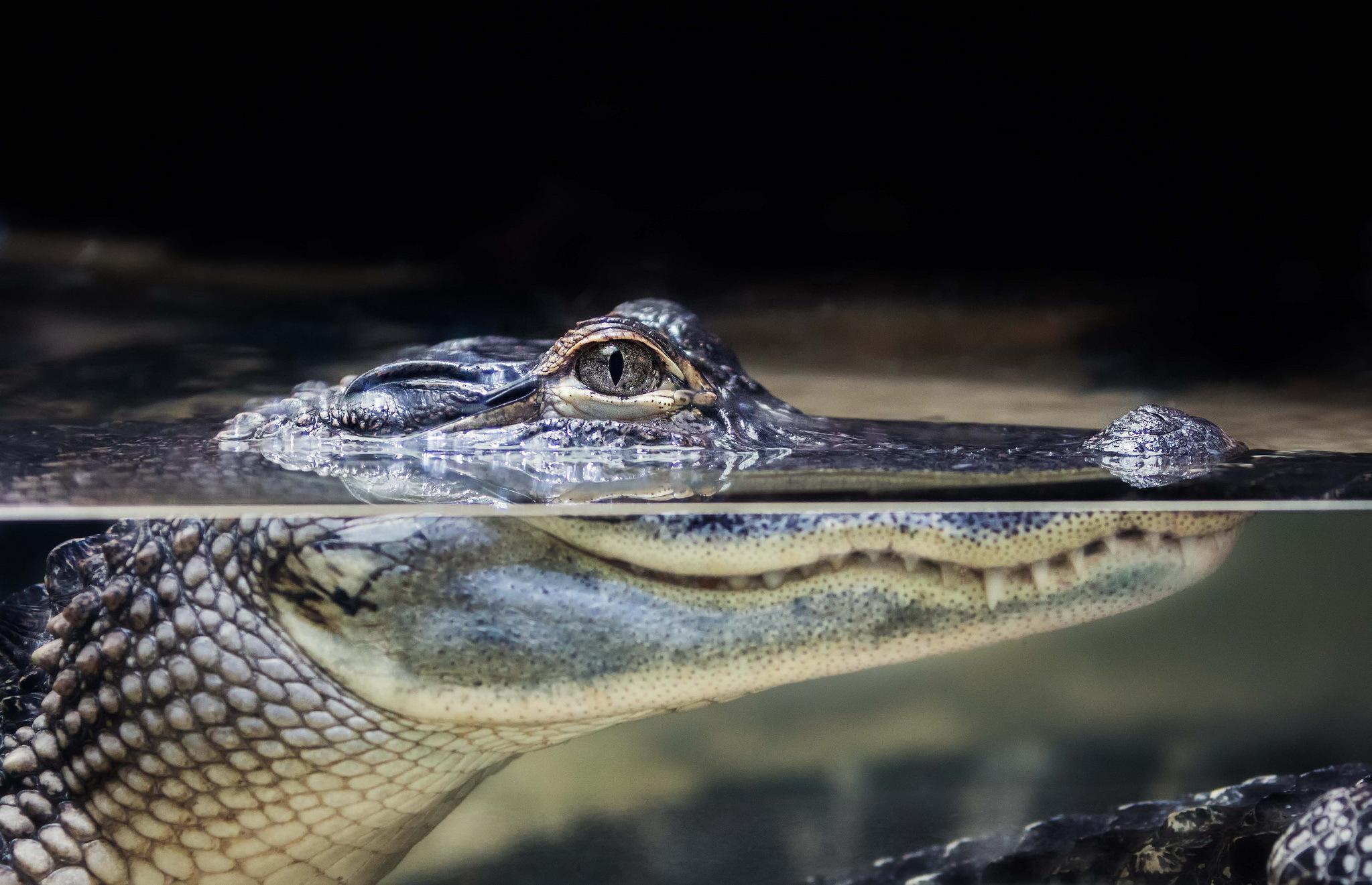 Картинки крокодилы, картинки айтишника