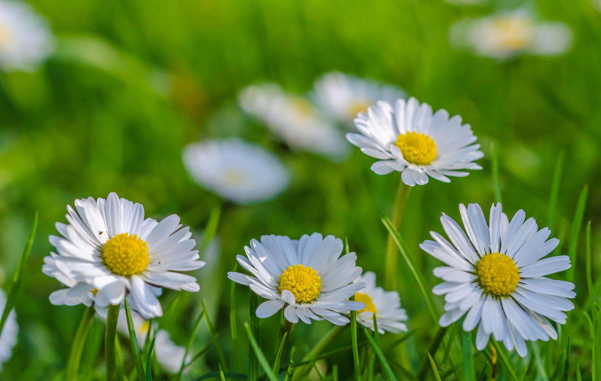 ромашки трава chamomile grass  № 3837847 бесплатно