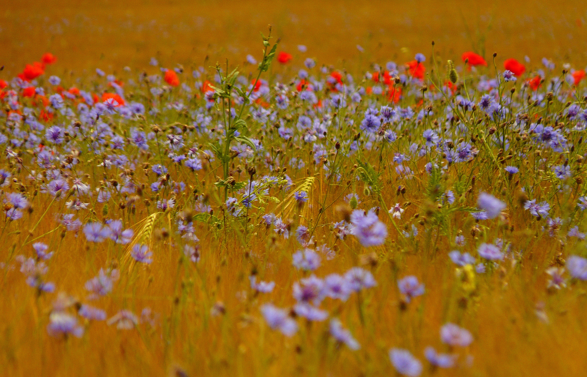 Фото рисунок полевые цветочки армии артист