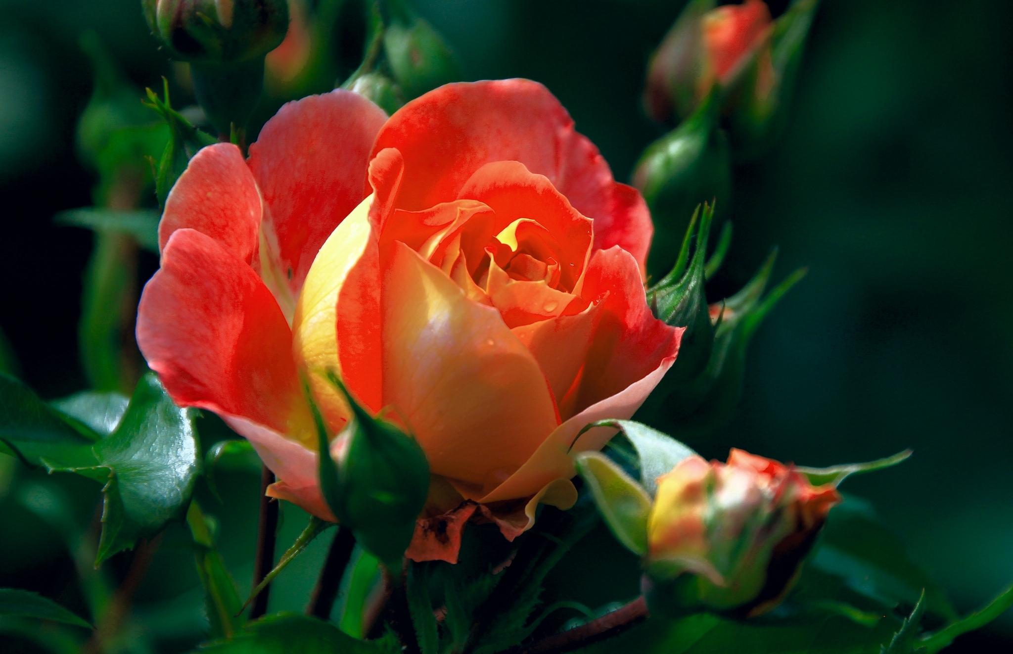 красивые картинки бутонов роз это