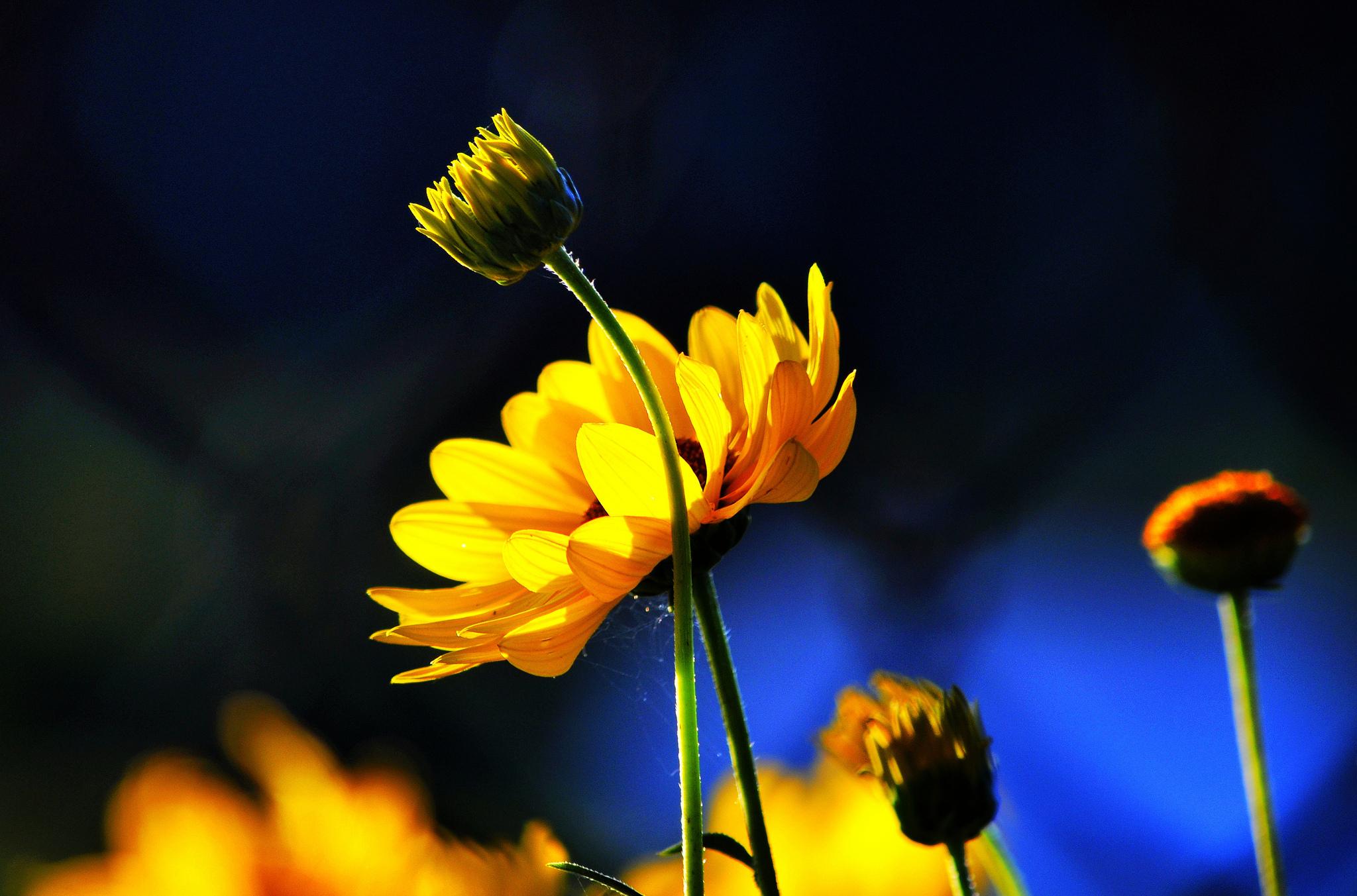 картинки желтые цветы на синем фоне цвет гиацинтов придает