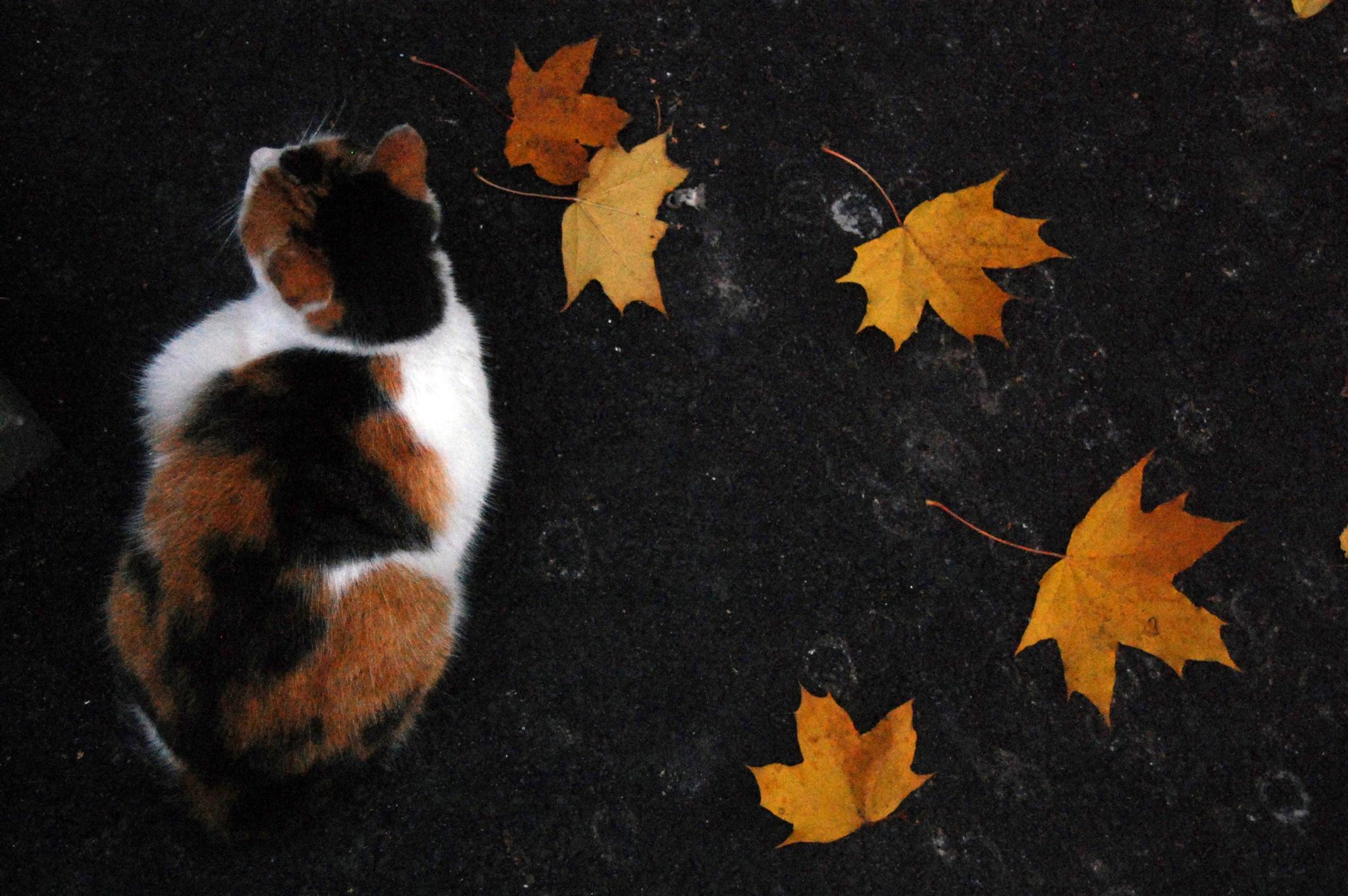 кошка осень листва  № 3898537  скачать