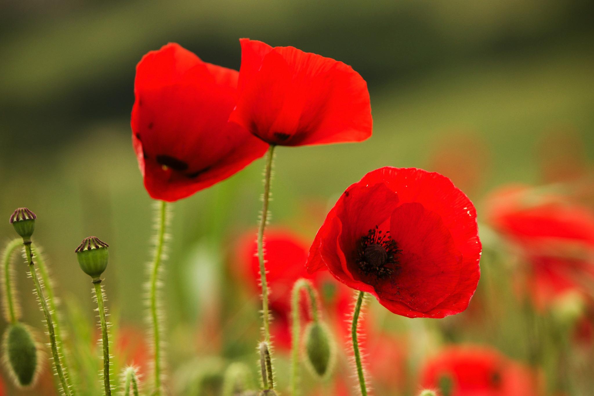 Смешные, красивые цветы открытки маки