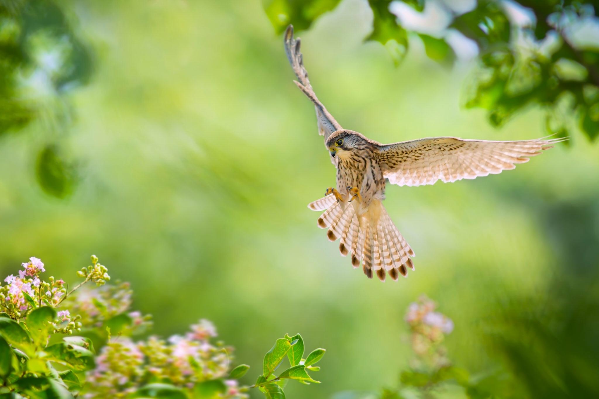 природа животные птица сокол nature animals bird Falcon  № 2993133 загрузить