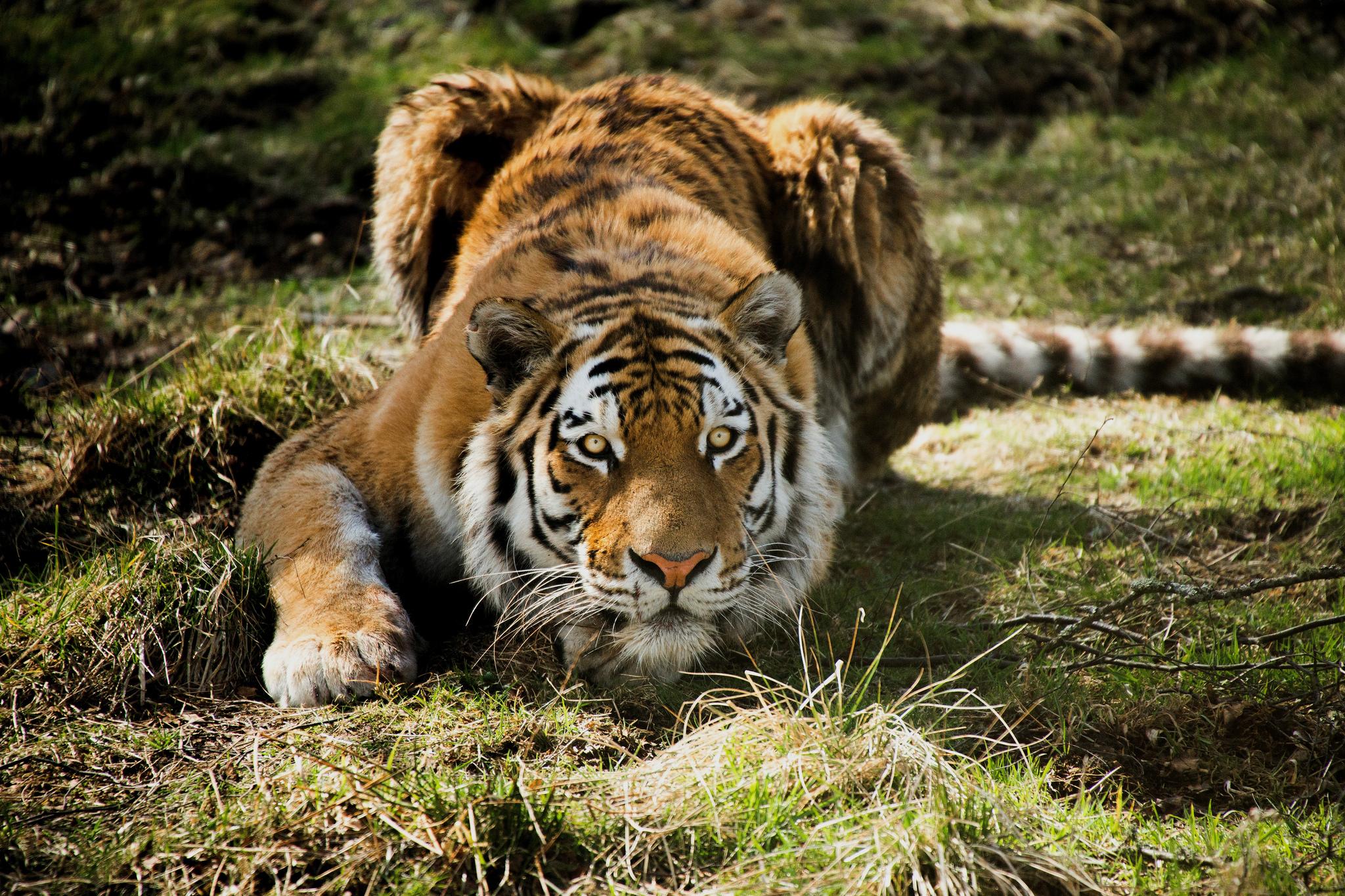 тигры трава природа  № 2011204 загрузить