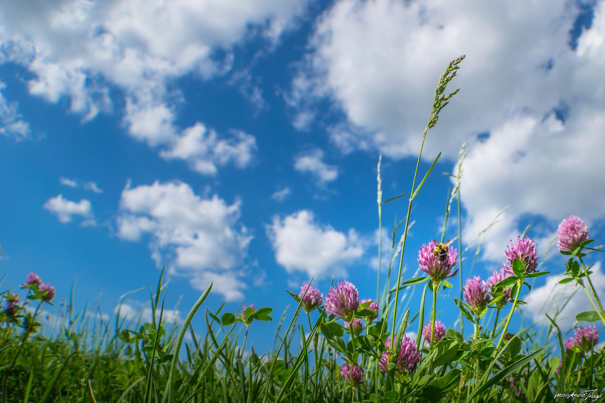 Цветы клевер  № 1341244  скачать
