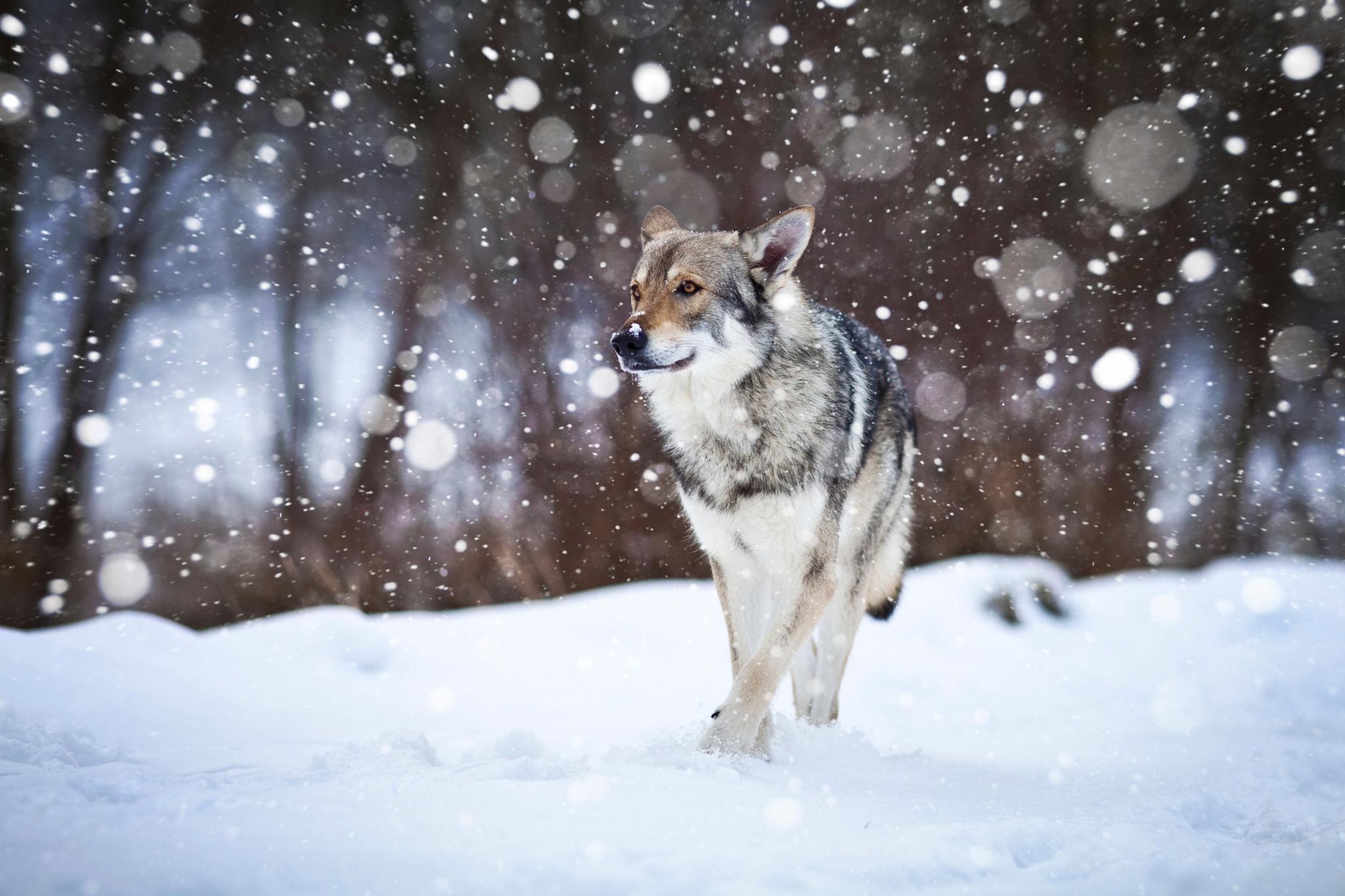 картинка лес волк снег скрасить