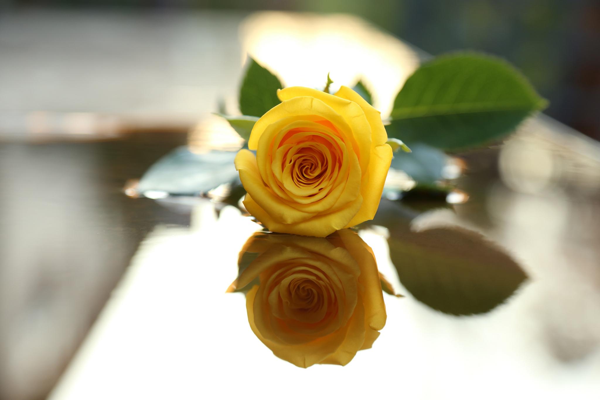роза,лепестки,листья  № 705693  скачать
