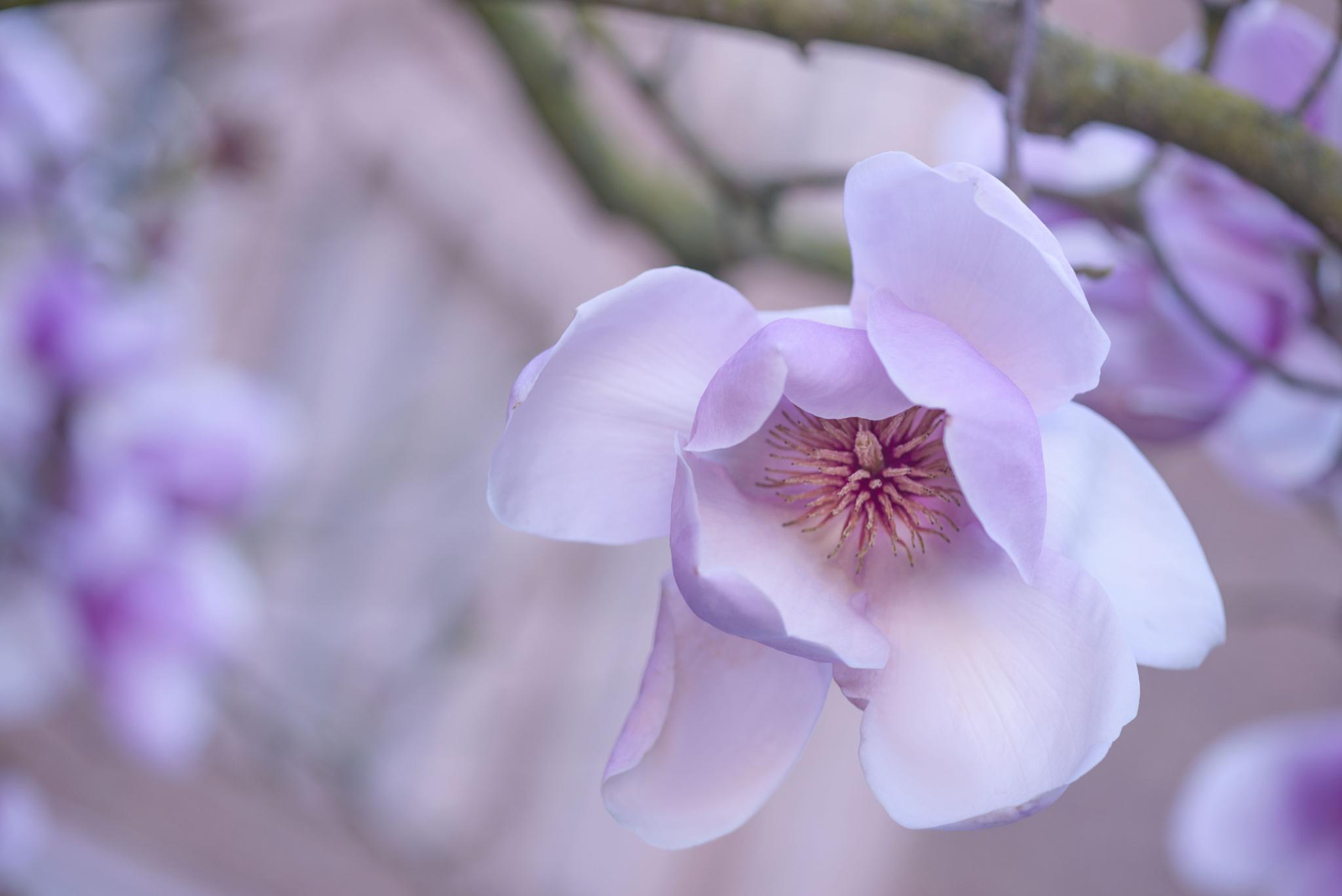 Цветок магнолии обои на рабочий стол