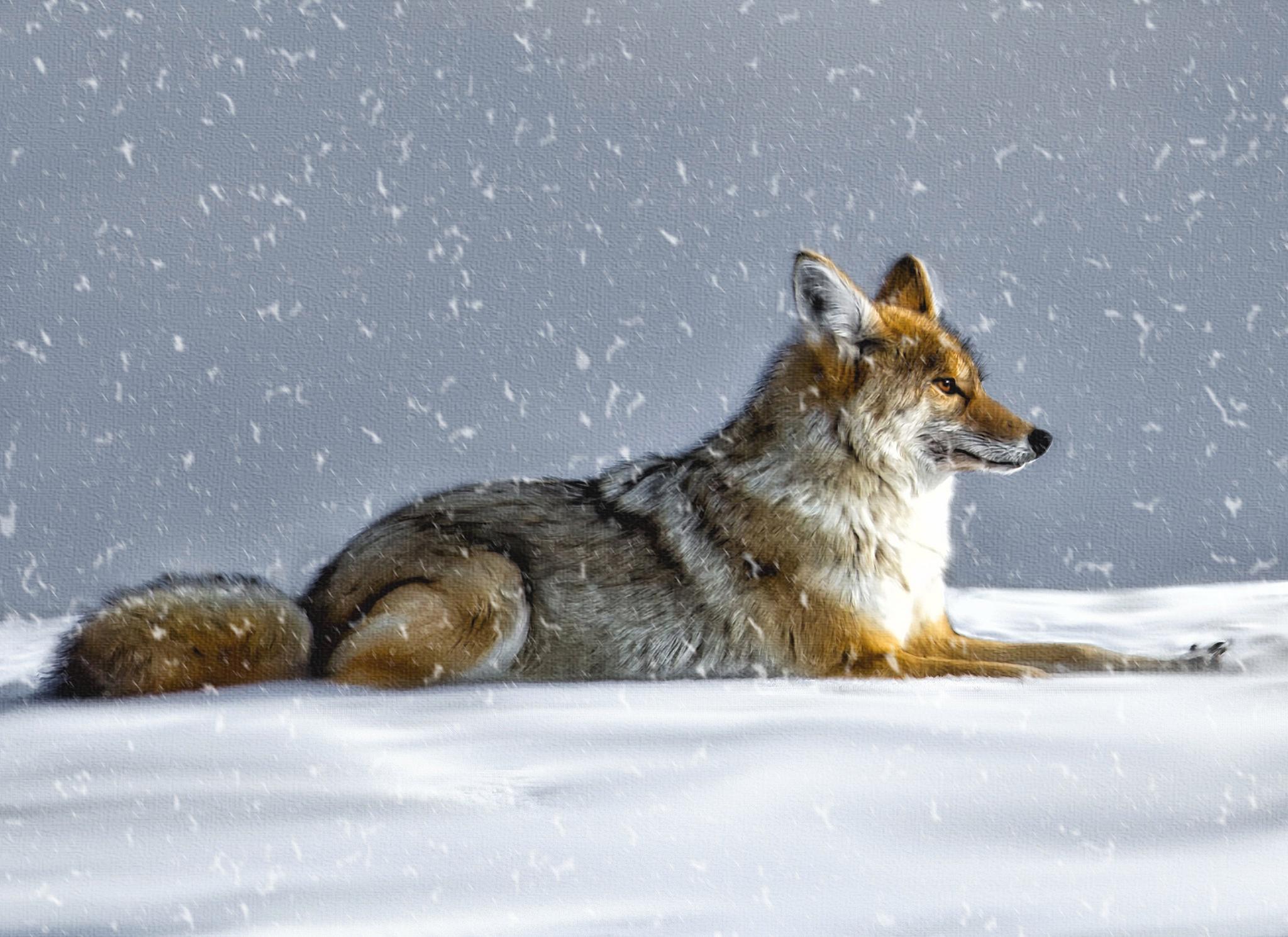 Картинки на рабочий стол зима волки