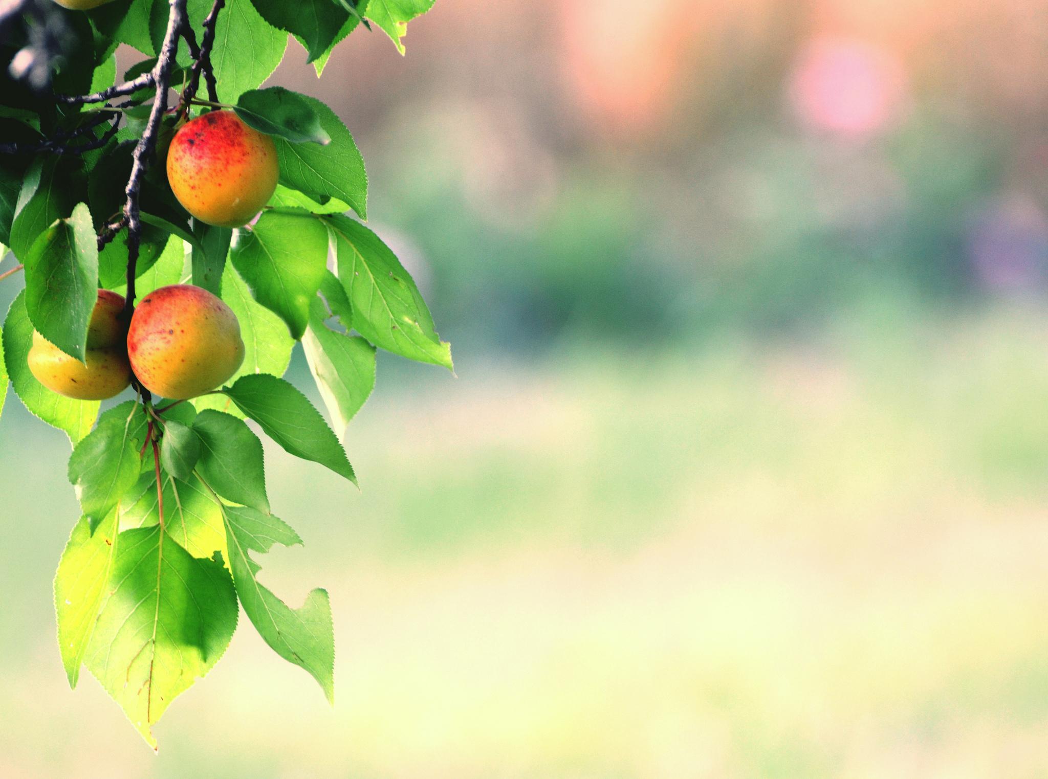 Картинка ветка абрикос