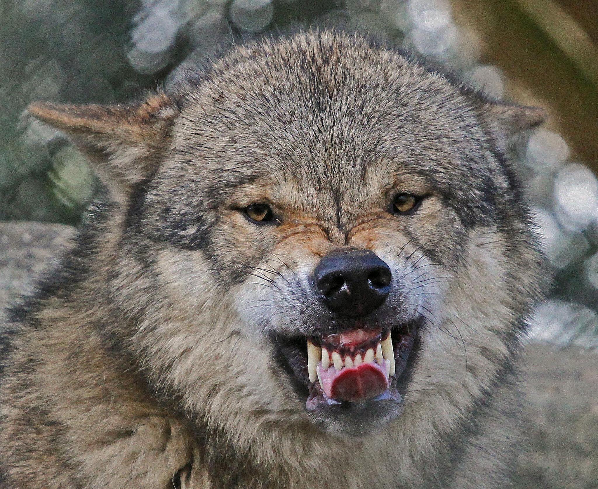 фото волчьего оскала для порожних контейнеров